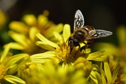 Macro photograph of an isolated common drone fly (Eristalis tenax) sucking nectar from a wild yellow flower against a natural background.