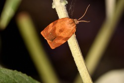 Macro photograph of an isolated day moth of the Pandemis species, of the Tortricidae family, standing on a wire of a fence net against a natural background.