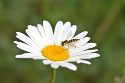 Macro photograph of an isolated insect of the Syrphidae family, a Hoverflies, also called flower flies or syrphid flies, here standing on a large daisy on a natural background.
