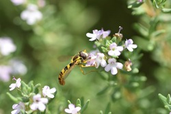 Macro photograph of an isolated specimen of a Hoverfly, also called flower flies or syrphid flies, here on Thymus vulgaris flowers, on natural bokeh background.