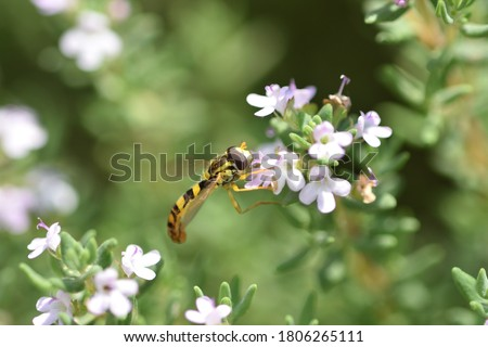 Macro photograph of an isolated specimen of a Hoverfly, also called flower flies or syrphid flies, here on Thymus vulgaris flowers, on natural bokeh background. Stockfoto ©