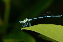 Macro photograph of an isolated specimen of the White-legged damselfly or Blue featherleg (Platycnemis pennipes) species standing motionless on a green leaf on a natural bokeh background.