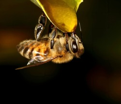 Macro photograph of Honey bee drinking honey from a leaf.