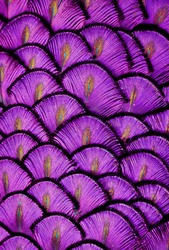 Macro photograph of the peacock feathers, shifted green to purple.