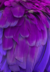 Macro photograph of the pink and purple feathers of a macaw.