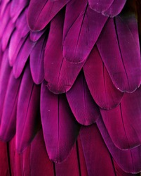Macro photograph of the purple-pink-fuschia feathers of a macaw.