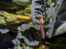 Macro photography of a crane fly on a kale leaf, captured at a garden near the colonial Town of Villa de Leyva, Colombia.