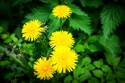 Macro photography of a dandelion Plant. Dandelion is a plant with a fluffy yellow Bud on a green background. Yellow dandelion flower grows in the ground.