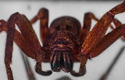 Macro photography of a large Huntsman Spider Sydney Australia