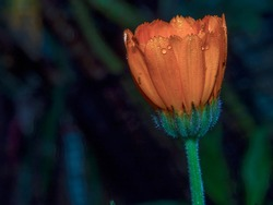 Macro photography of a marigold bud with drops of dew, captured in a garden near the colonial town of Villa de Leyva, Colombia.