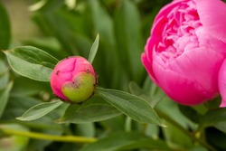 Macro photography of an ant on a peony Bud.Blooming peony flower Bud and ant