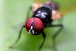 Macro Photography of Black Blowfly on Green Leaf