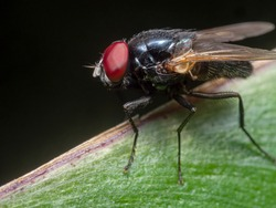Macro Photography of Black Blowfly on Green Leaf Isolated on Black Background
