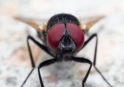 Macro Photography of Black Blowfly on The Floor