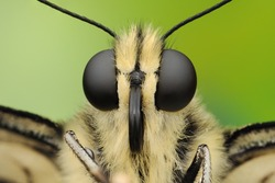Macro photography of butterfly. Big black eyes. Extreme sharp portrait. Isolated on green bacground.