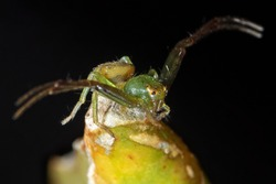 Macro Photography of Crab Spider on Flower Bud Isolated on Black Background