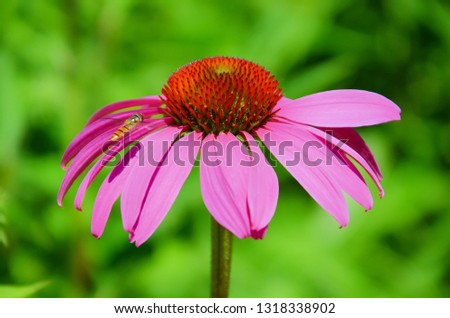 Macro photography of Echinacea purpurea/eastern purple coneflower or also hedgehog coneflower captured together with a hoverfly flying around. The picture has blurred green background.