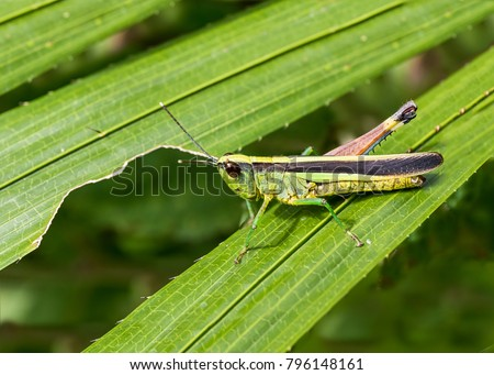 Macro photography of Grasshopper on green leaf in the forest, Grasshopper a plant-eating insect with long hind legs that are used for jumping #796148161