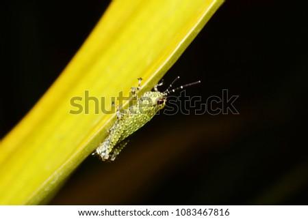 Macro photography of Grasshopper on leaf #1083467816
