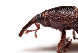 Macro Photography of Head of Rice Weevil Isolated on White Background