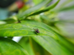 Macro photography of housefly on the green leaf.