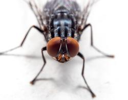 Macro Photography of Housefly on White Floor
