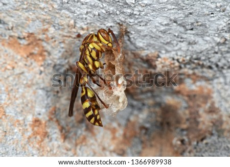 Macro Photography of Paper Wasp on Wasp Nest with Eggs