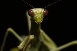 Macro Photography of Praying Mantis