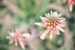 Macro photography of red blooming Aloe flowers. Natural background with flowering succulent plant.