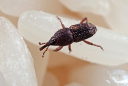 Macro Photography of Rice Weevil or Sitophilus oryzae on Raw Rice
