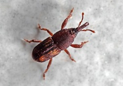 Macro Photography of Rice Weevil or Sitophilus oryzae on The Floor