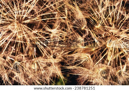Macro photography of wild plant common dandelion, Spain