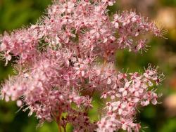 Macro photography Pink flower Spiraea japonica