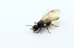Macro photography Queen ant with wings on white background