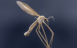 Macro picture of a Crane fly sometimes known as mosquito hawks or daddy longlegs isolated on a dark background