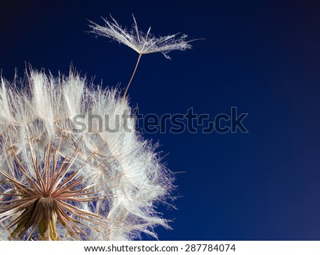 Macro picture of a dandelion with flying a seed on a beautiful blue background