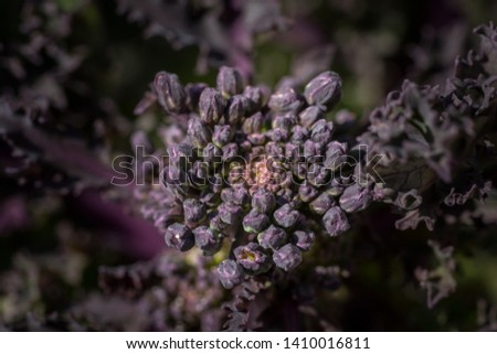 Macro picture of a kale plant