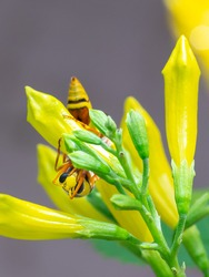macro picture of a wasp on yellow flower buds.