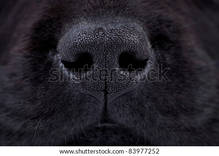macro picture of a wet black labrador puppy\'s nose