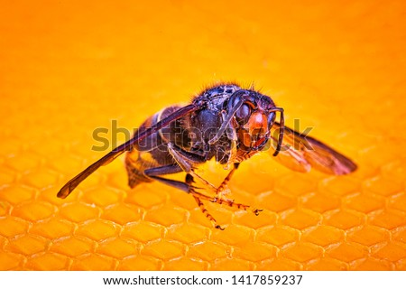 Macro picture of alive Asian hornets on a new yellow orange frame of beehive. They are responsible of death of bees colony. Disaster for nature wild life in France. Top view