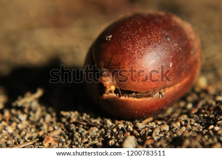 Macro Picture of an Acorn