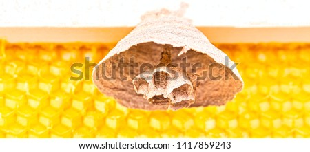 Macro picture of Asian hornets begin of nest on a new yellow frame of beehive, responsible of death of bees colony. Disaster for nature wild life in France. Front view