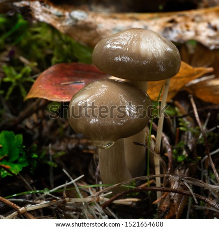 Macro picture of brown wet mushroom growing on the forest floor.  The mushroom is shiny and sticky looking. With water droplet on one mushroom.