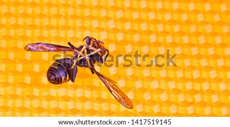 Macro picture of dead Asian hornets on a new yellow orange frame of beehive. They are responsible of death of bees colony. Disaster for nature wild life in France. Top view