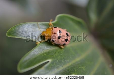 macro picture of ladybug