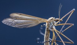 Macro picture of the body of a Crane Fly