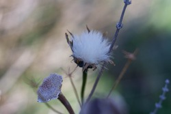 Macro pictures of Dry Sow thistle or Sonchus arvensis ,is a genus of flowering plants in the dandelion tribe within the sunflower family .Natural Background,Close Up