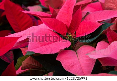 Macro pink flowering Christmas petals. Poinsettia plant.