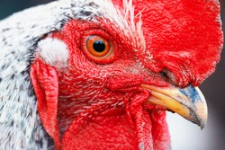 Macro portrait of a beautiful colorful rooster with a bright red comb, red eyes and yellow beak.Countryside concept with domestic bird head very close up on the farm
