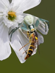 Macro portrait of a white crab spider or flower spider (Misumenia vatia) with prey. Example of biodiversity and ecological interaction of a wild scary spider hunting a wasp. Spider holding dead insect